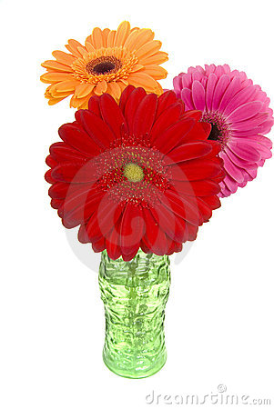 Three colorful gerber daisies in vase