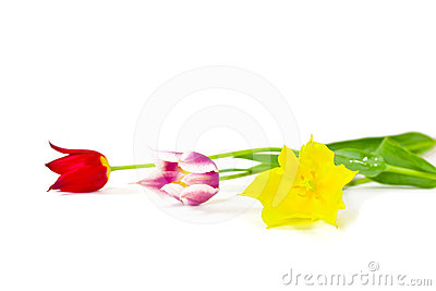 Three colorful tulips