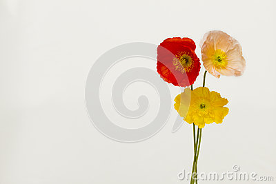 Three colourful poppies on white
