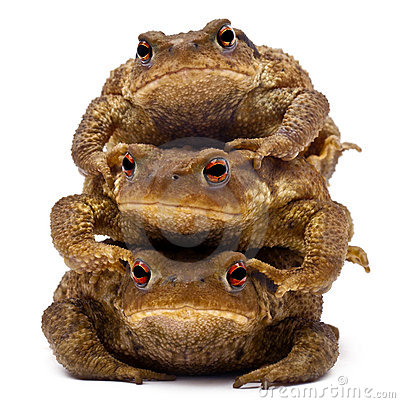 Three common toads or European toads, Bufo bufo