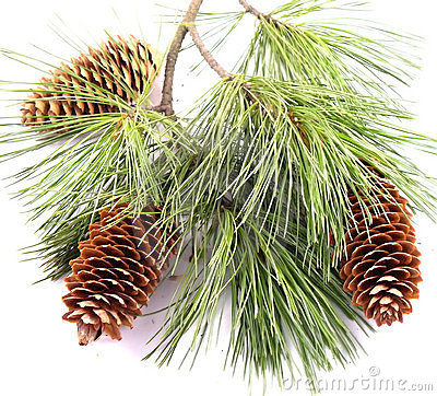 Free Three Cones On The Christmas Branch Royalty Free Stock Photos - 1643188