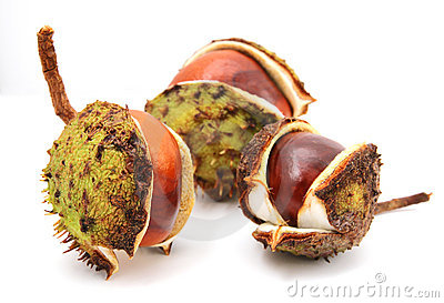 Three conkers isolated on a white background.