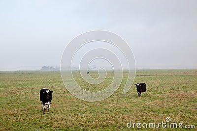Three cows in dutch polder