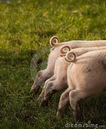 Free Three Curled Piglets Tails Royalty Free Stock Photos - 13974528