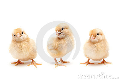 Three cute baby chickens chicks