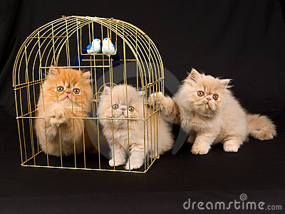 Three cute Persian kittens with gold bird cage