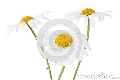 Three daisy flowers