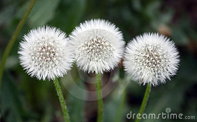 Three dandelion plants