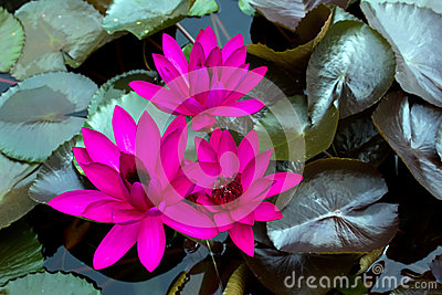 Three Dark pink water lily in the porn