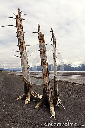 Three dead trees on beach