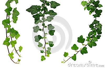 Three different green ivy twigs