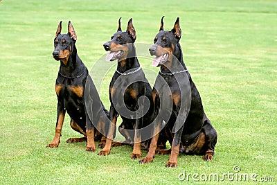 Three Dobermans Stock Photography Image 9422012