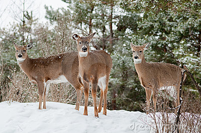 Three Does in Winter