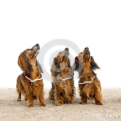 Free Three Dogs Royalty Free Stock Photography - 39451017