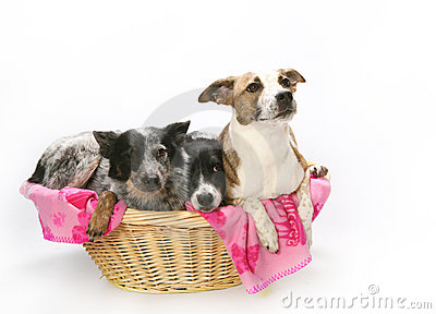 Three dogs in basket