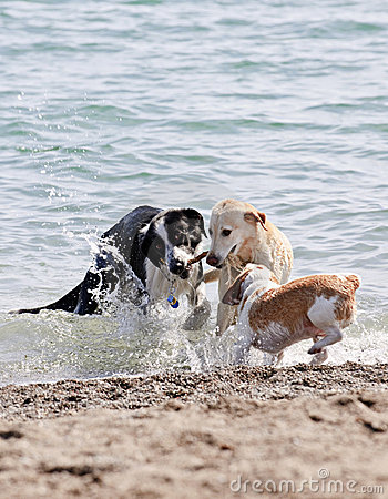 Three dogs playing on beach