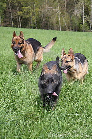 Three dogs running