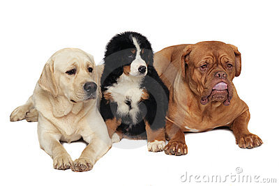 Three dogs on a white background.