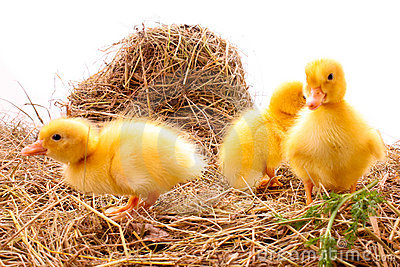 Three duckling in hay