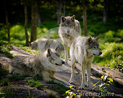 Three Eastern Timber Wolves Pack