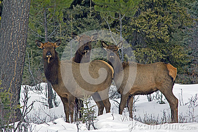 Three Elk in the Snow