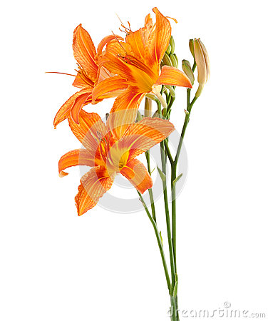 Three flowers of lily upright