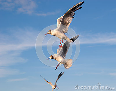 Three flying gulls