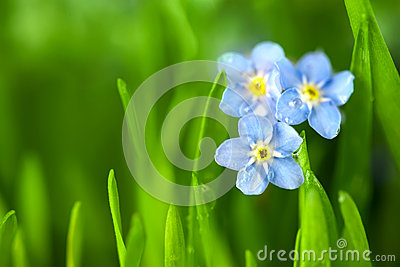 Three Forget-me-not Blue Flowers / Macro
