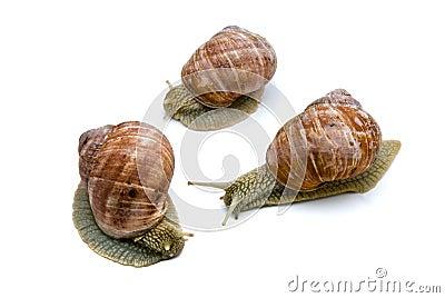 Three garden snails