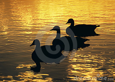 Three Geese Sunset
