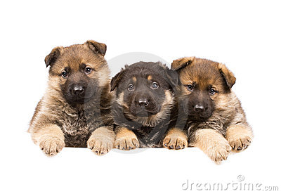 Three German sheepdogs puppys