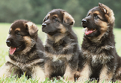 Three German Shepherd Puppies Stock Photos Image 941663