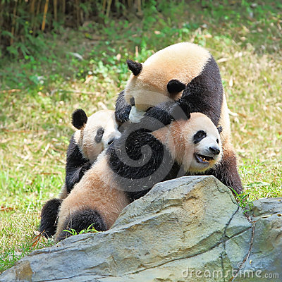 Three giant Pandas playing