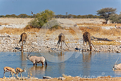 Three giraffes drinking