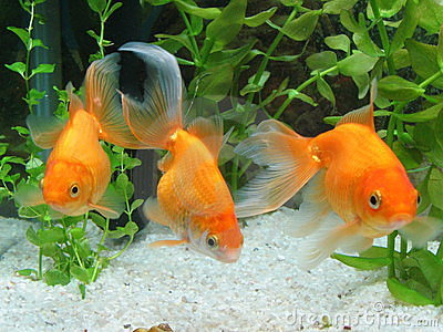 Three Goldfish in Aquarium