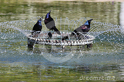 Three Grackle Birds in a Fountain Washington DC