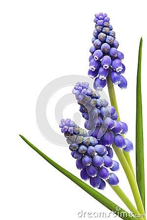 Free Three Grape Hyacinth Flower Royalty Free Stock Photos - 13864518
