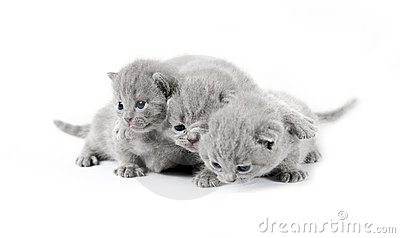 Three gray british kittens