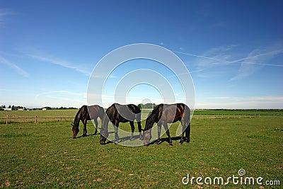 Three grazing horses