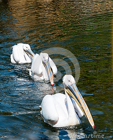 Free Three Great White Pelicans Royalty Free Stock Image - 30614216
