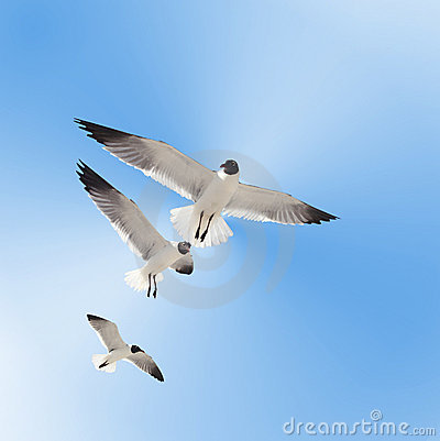 Three Gulls in Flight