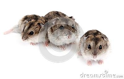 Three hamsters
