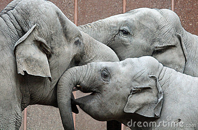Three happy elephants