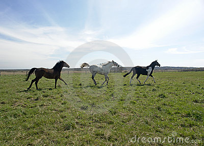 Three horses frolick in field