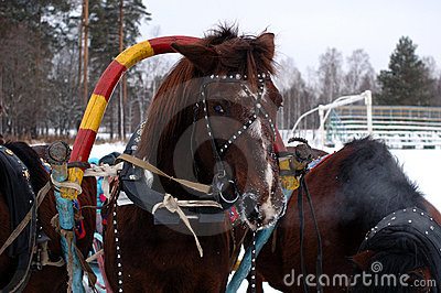 Three horses harnessed abreast (troika).