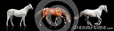 Three horses isolated
