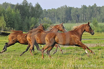 Three horses run gallop