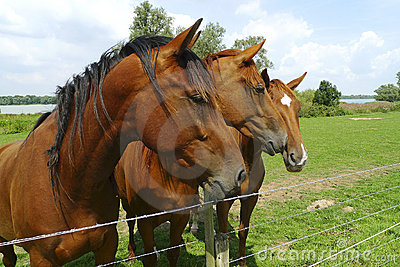 Three horses standing side by side