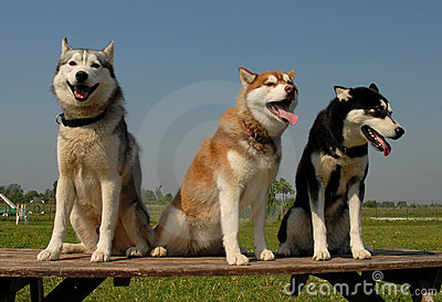 Three  huskies