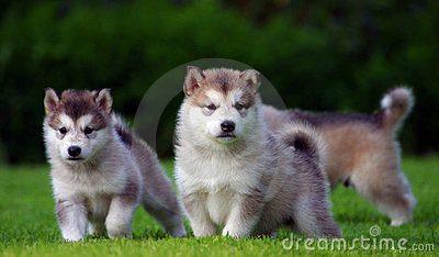 Three Husky puppets